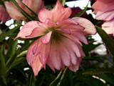 Berry Swirl by trixxie17, photography->flowers gallery