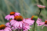 Pink Coneflowers by Pistos, photography->flowers gallery