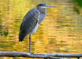 Autumn Heron by legster69, Photography->Birds gallery