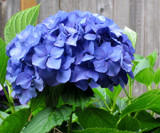 Rhapsody in blue by caitsmeow, photography->flowers gallery