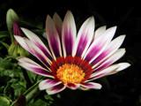 Gazania by trixxie17, photography->flowers gallery