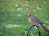 Mrs. Cardinal by lilkittees, Photography->Birds gallery