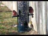 Finchers Feast by Hottrockin, Photography->Birds gallery