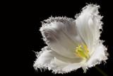 Ragged Tulip Macro by Paul_Gerritsen, Photography->Flowers gallery