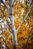 Autumn Birch by Pistos, photography->nature gallery