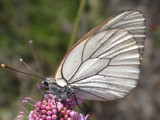 Black-veined White by od0man, Photography->Butterflies gallery