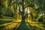 Image: The Weeping Willow