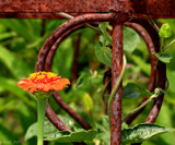 Rusty Flower by tigger3, photography->gardens gallery