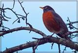 Robin Redbreast by trixxie17, photography->birds gallery