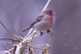 House Finch In Snow by mike100, Photography->Birds gallery