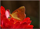Garden Delight_Sweet Flutterby by tigger3, photography->manipulation gallery