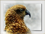 Kea by LynEve, Photography->Birds gallery