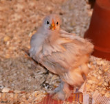 Cochin Chick #2 by tigger3, photography->animals gallery