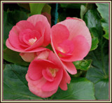Begonia Trio by trixxie17, photography->flowers gallery