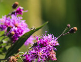 Inflight Over Asters by Pistos, photography->insects/spiders gallery