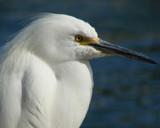 Snowy Egret by lilu103, Photography->Birds gallery