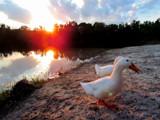 Evening, Ducks. by brandondockery, photography->birds gallery