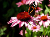 A Butterfly's Dedicated Pose......... by marilynjane, Photography->Butterflies gallery