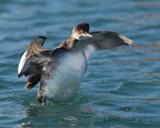 Earred Grebe by garrettparkinson, photography->birds gallery