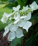 Lanarth Hydrangea by Little_Art_Gurl, photography->flowers gallery