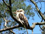 Laughing Kookaburra (Dacelo novaeguineae) by LynEve, Photography->Birds gallery