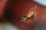 Not For Arachnophobes #2 by braces, Photography->Insects/Spiders gallery