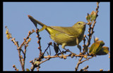 Yellow Warbler by garrettparkinson, Photography->Birds gallery