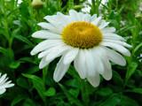 ~Daisy Talk~ by mimi, photography->flowers gallery