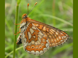Marsh Fritillary by od0man, Photography->Butterflies gallery