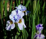 Careless Sally Siberian Iris by trixxie17, photography->flowers gallery