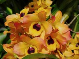 Golden Butterfly Orchids by trixxie17, photography->flowers gallery
