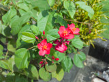 Rose Jatropha (Maybe) by Pistos, photography->flowers gallery