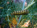 Caterpillar on Fennel by yodergoat, Photography->Insects/Spiders gallery