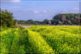 Another Rapeseed Field by corngrowth, photography->landscape gallery