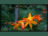 Montbretia by LynEve, Photography->Flowers gallery