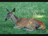 Dama Dama by LynEve, Photography->Animals gallery