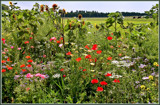 Summer Wildflowers 13 by corngrowth, Photography->Flowers gallery