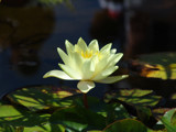 water lily by magical, Photography->Flowers gallery