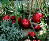 Christmas among the Cacti by trixxie17, Holidays->Christmas gallery