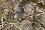 Just More Junco by photog024, Photography->Animals gallery