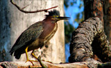 Return of the Green Heron by allisontaylor, Photography->Birds gallery