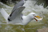 """""""Gag me with a herring!"""" by solita17, Photography->Birds gallery"""
