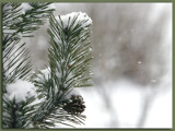 Snow Falling on Pine Cone by theradman, Photography->Nature gallery