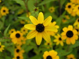 Black Eyed Susan by Old_World_Hilary, Photography->Flowers gallery