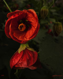 Abutilon by goggs, photography->flowers gallery