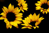 SunFlowers by twinkel, photography->flowers gallery