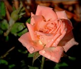 Last Rose of Summer by trixxie17, photography->flowers gallery