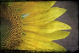 Sunflower Petals by lilkittees, Photography->Manipulation gallery
