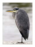 grey heron by JQ, Photography->Birds gallery