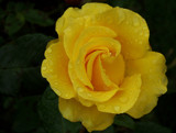 Yellow Rose Of Liverpool by braces, photography->flowers gallery